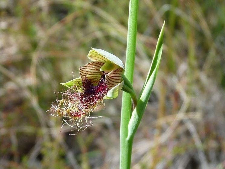 calochilus orchidea