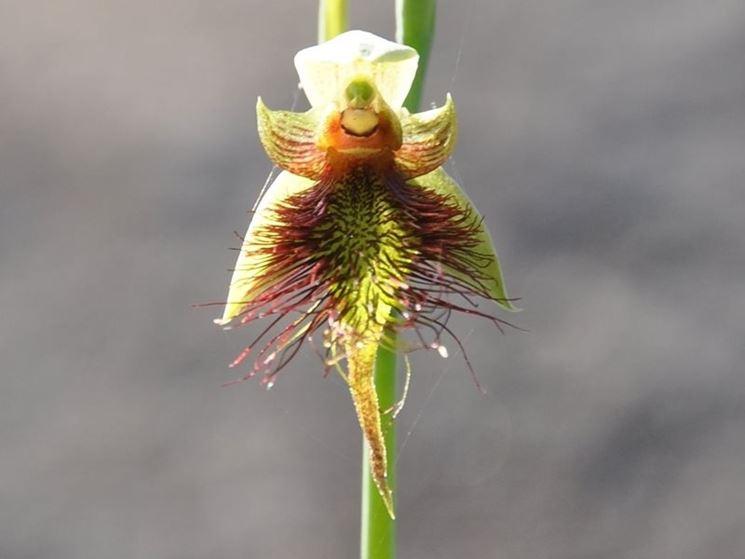 calochilus paludosus