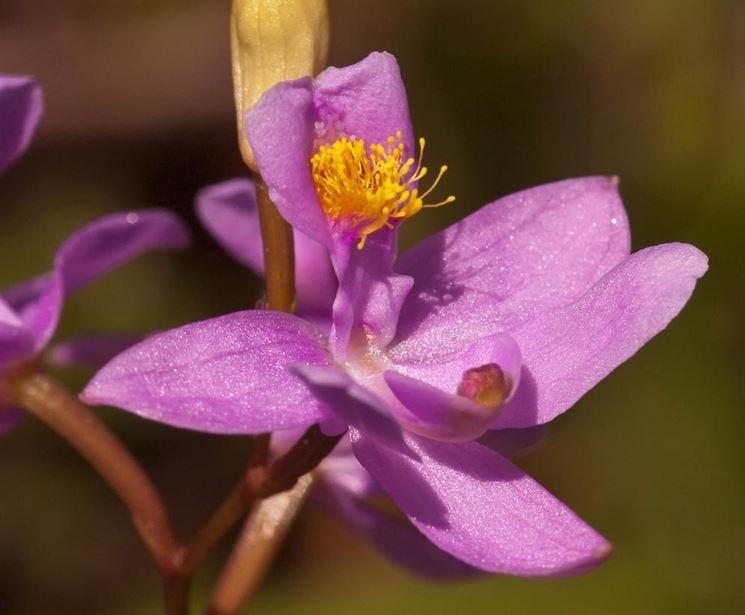 fiore Calopogon