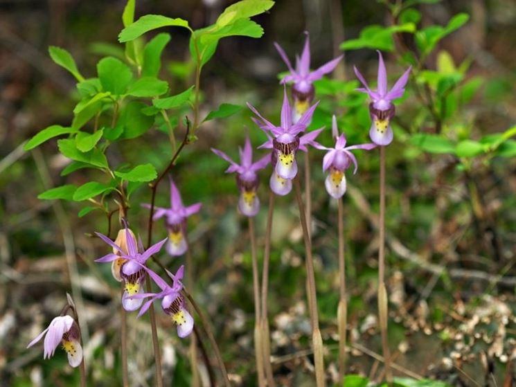 calypso orchidea