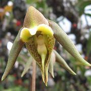 Catasetum gnomus