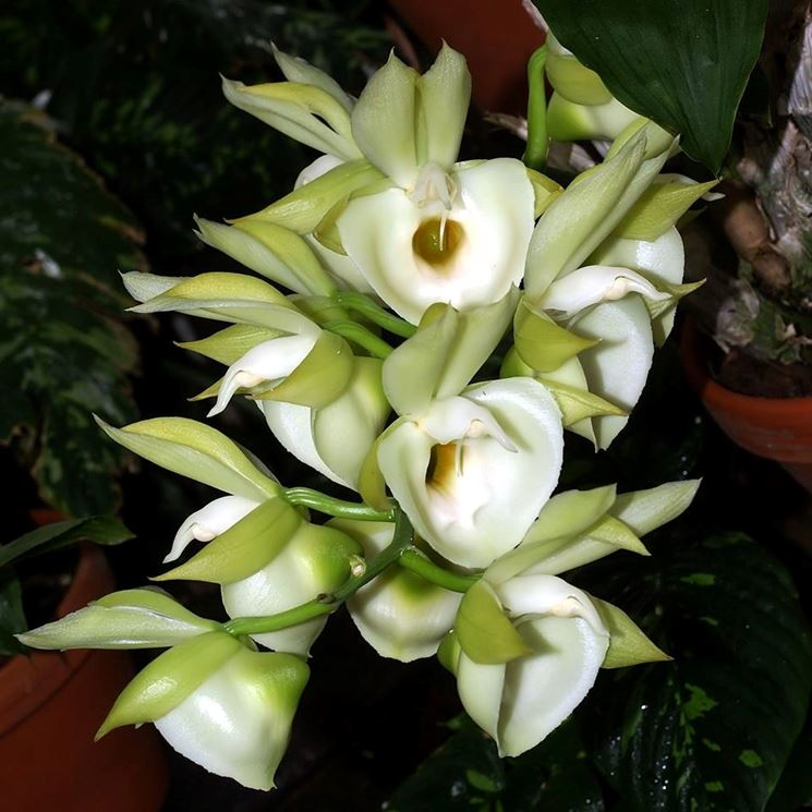 catasetum fiori