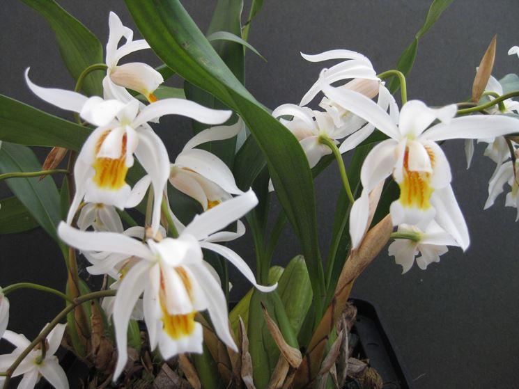 Coelogyne pianta
