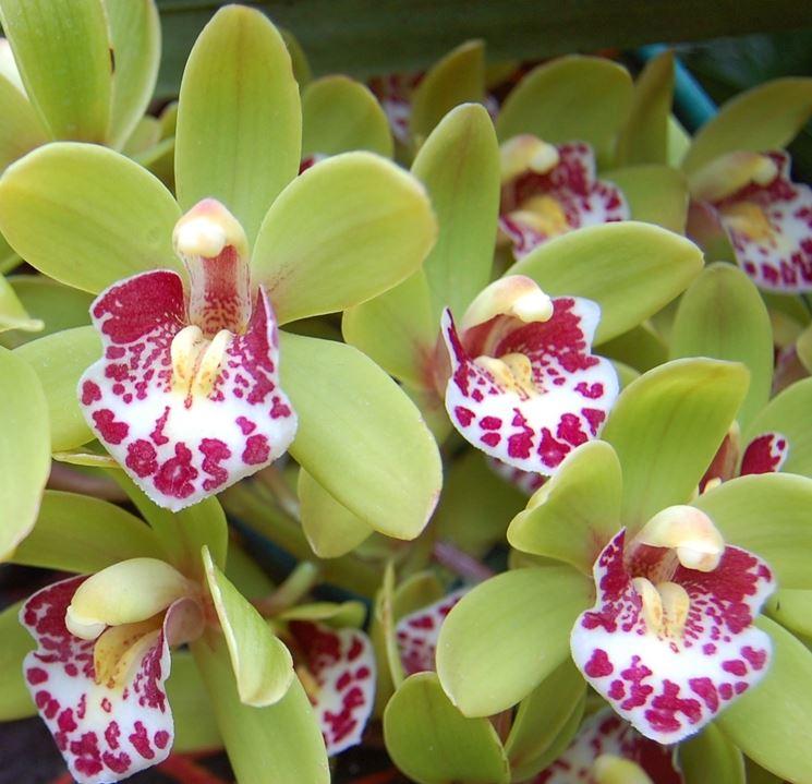 Orchidee Da Esterno.Cymbidium Orchidee Orchidea Cymbidium