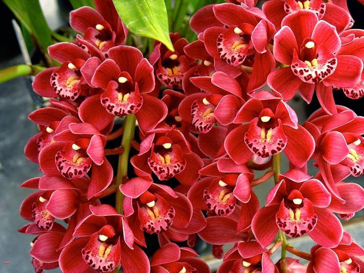 fiori cimbidio
