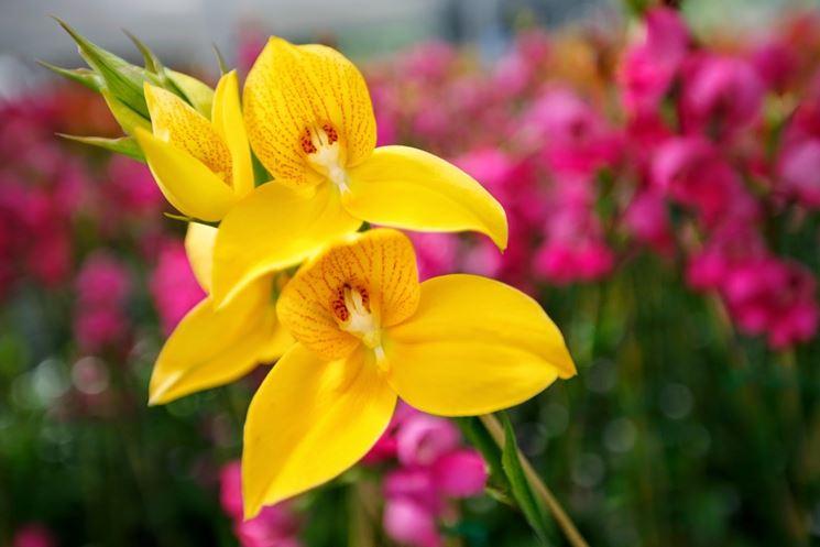 disa fiori