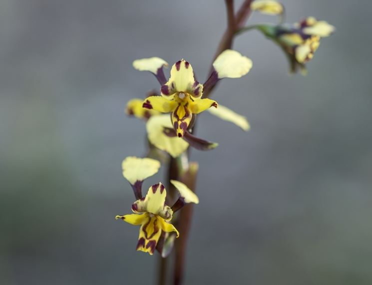 fiori diuris pardina
