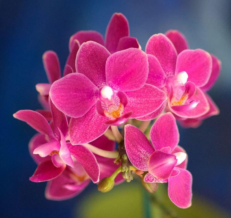 fiore Doritis