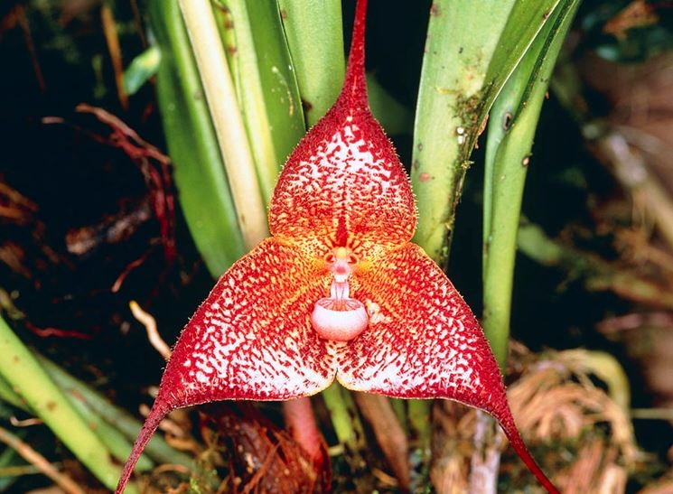 Dracula orchidea