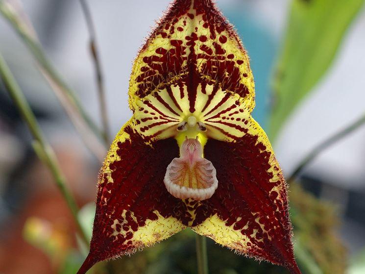fiore orchidea Dracula