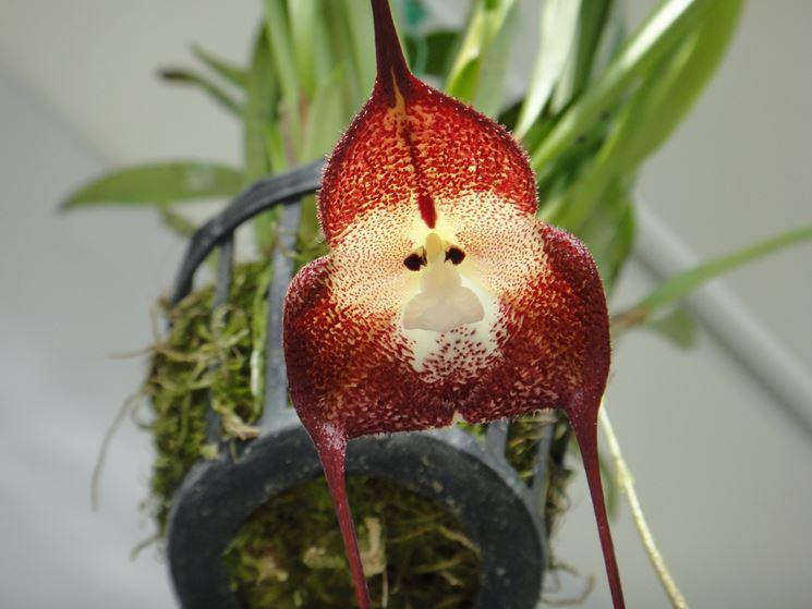 orchidea dracula