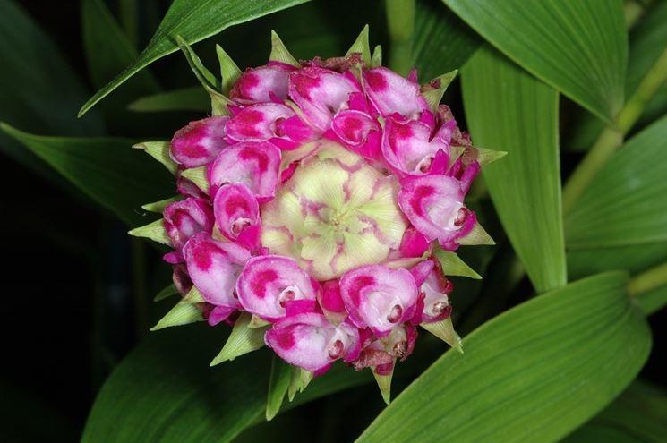 fiori elleanthus capitatus