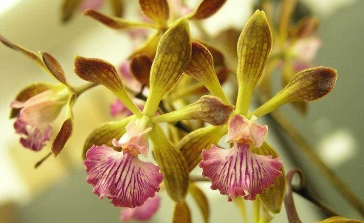 encyclia fiori