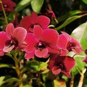 Orchidee Dedrobium