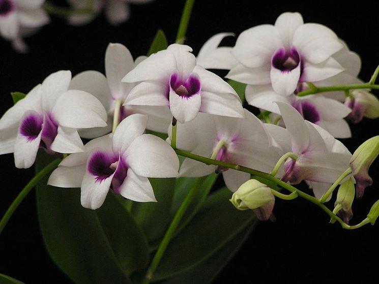 dendrobium fiori