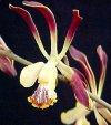"""Epidendrum"""""""