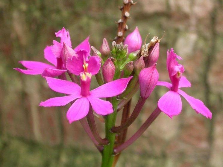 Epidendrum denticulatum
