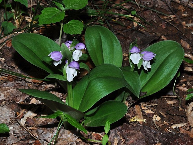 pianta Galearis