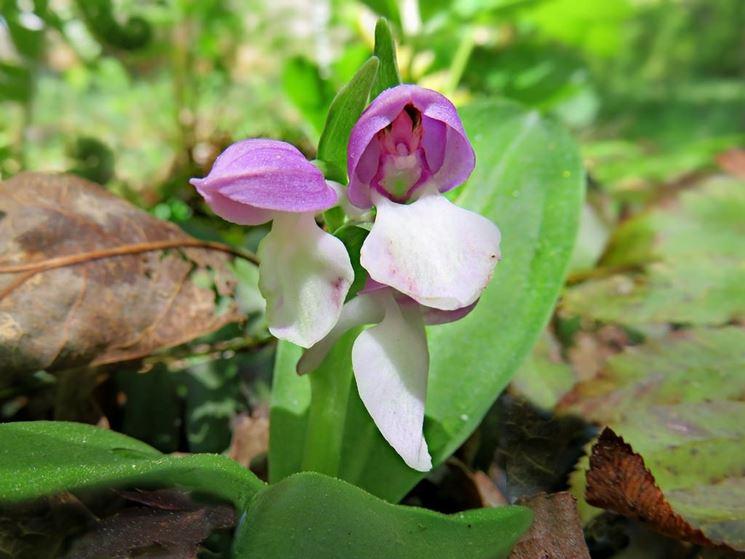galearis fiori