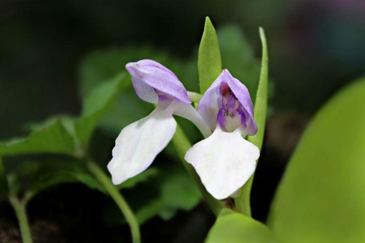 fiore galearis