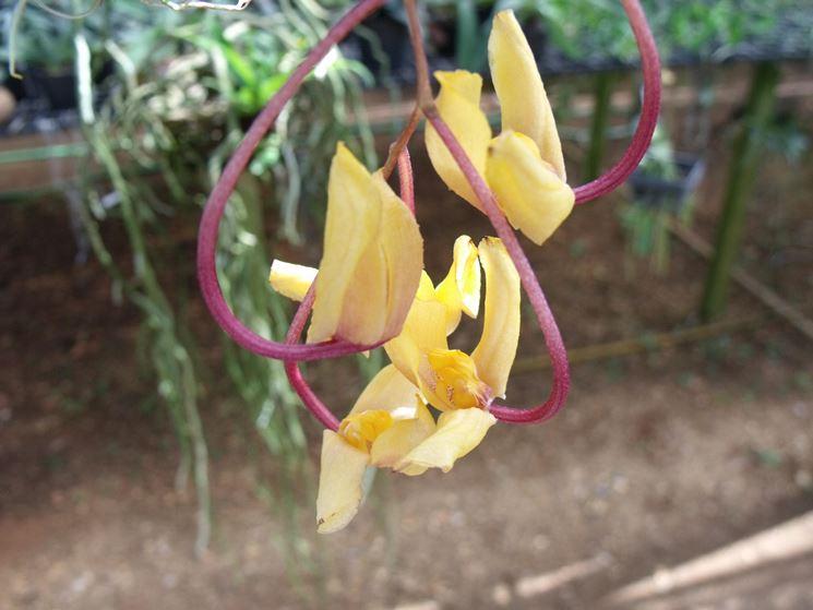 fiore gongora galeata