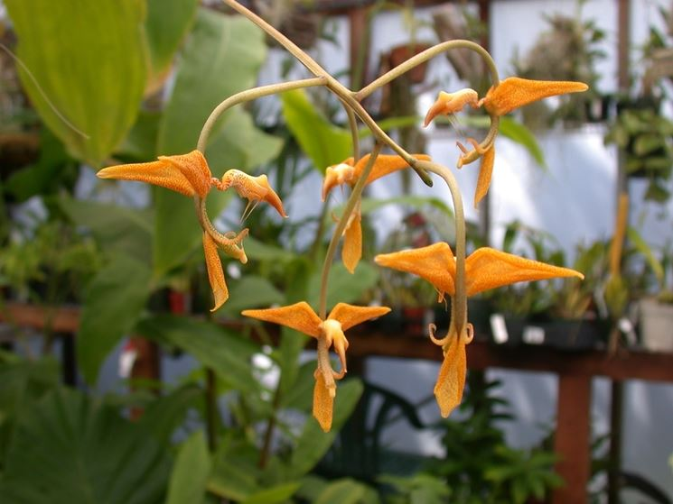 orchidee gongora