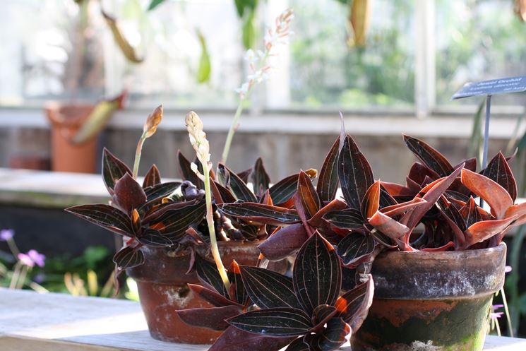 piante ludisia discolor