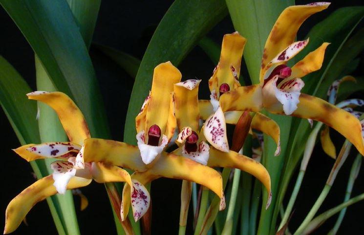 orchidea maxillaria picta