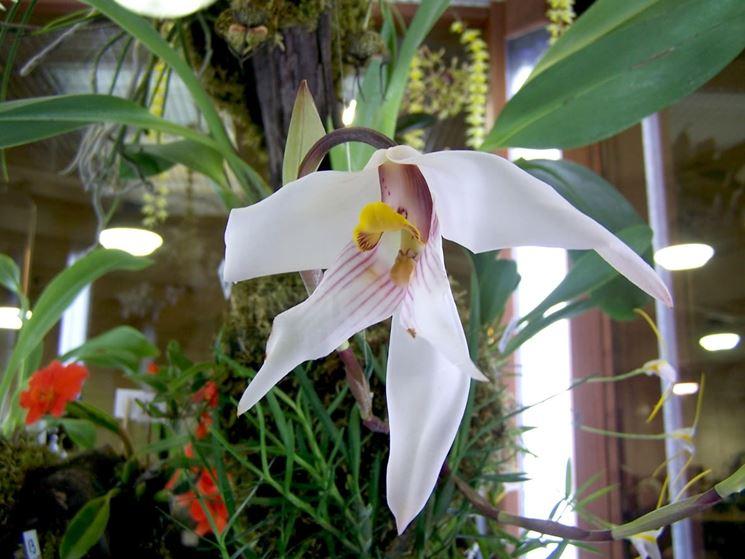 maxillaria augustae