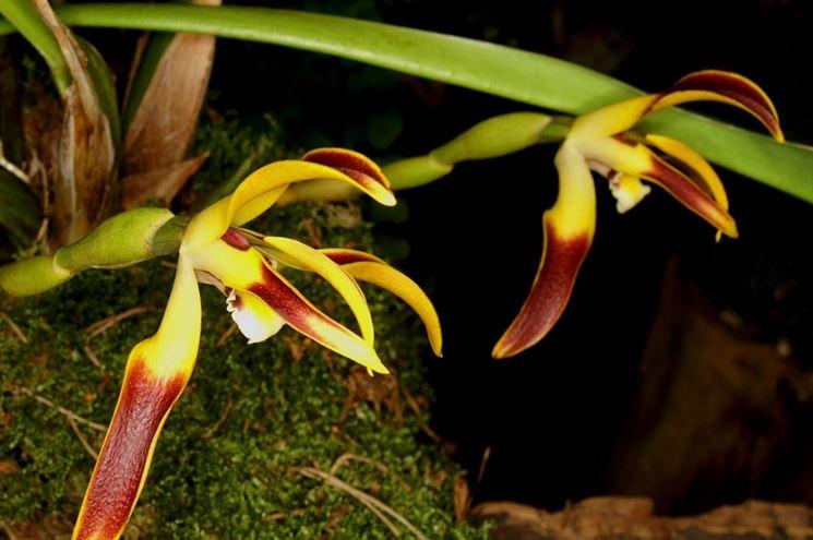 maxillaria setigera