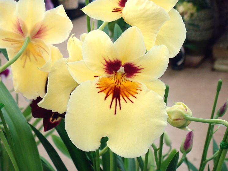 fiore di miltonia