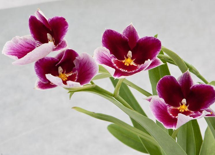 orchidea moltiplicazione