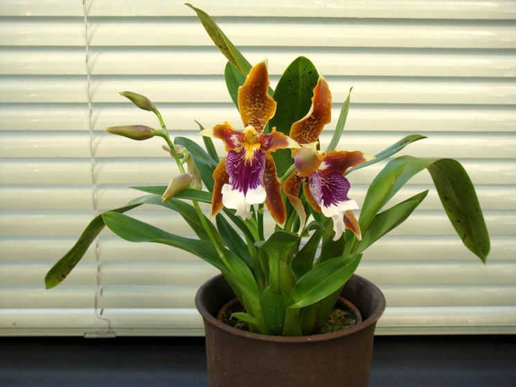 pianta Odontoglossum
