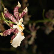 Oncidium tigrinum