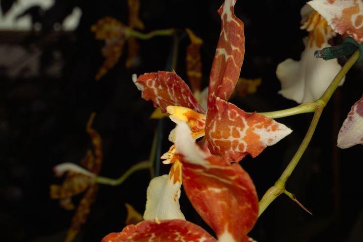 fiore oncidium tigrinum