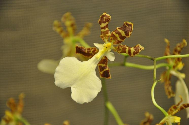 oncidium tigrinum fiore