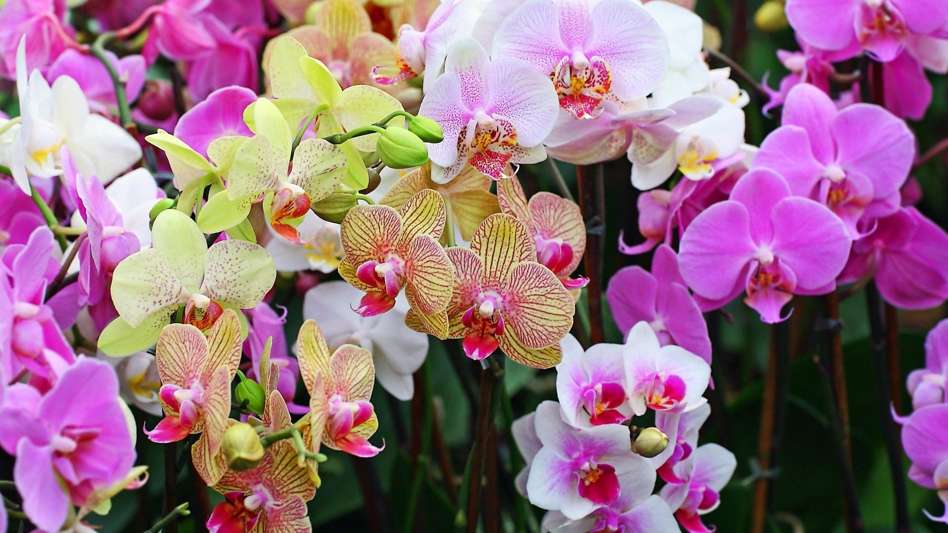 tipi di orchidee