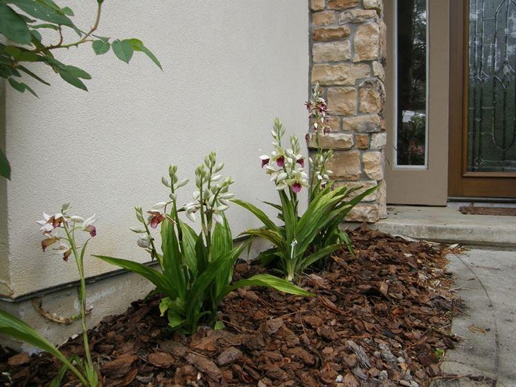 Phaius phaius orchidee phaius orchidee for Concime per orchidee