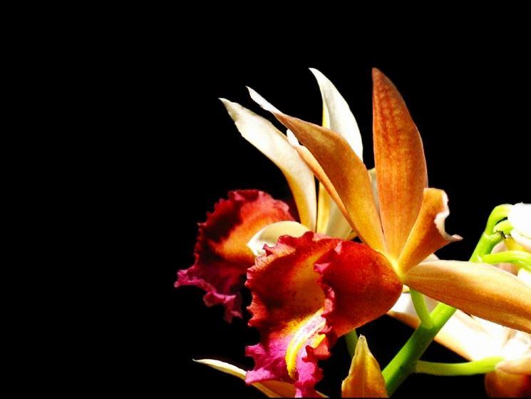 orchidea phaius