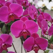 fiore phalaenopsis amabilis