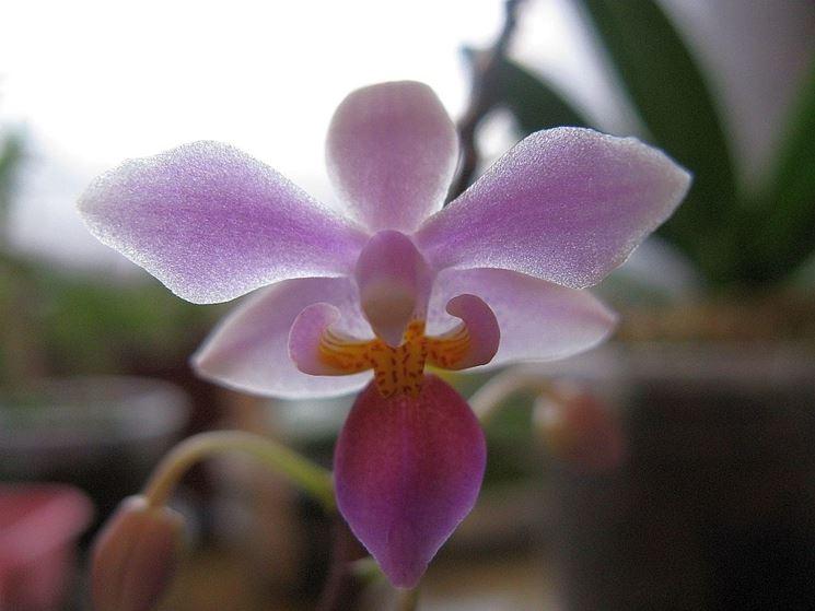 Phalaenopsis rosea
