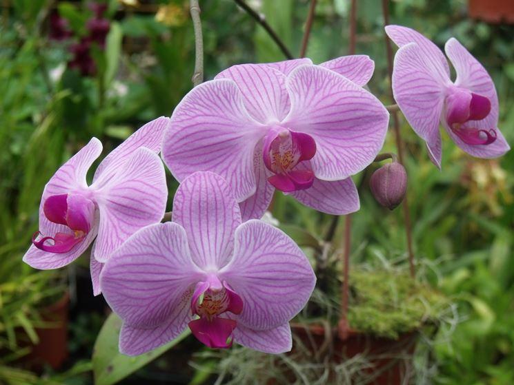 pianta Phalaenopsis