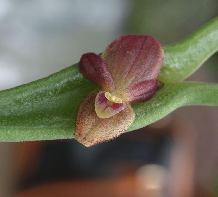 Pleurohallis fiore,