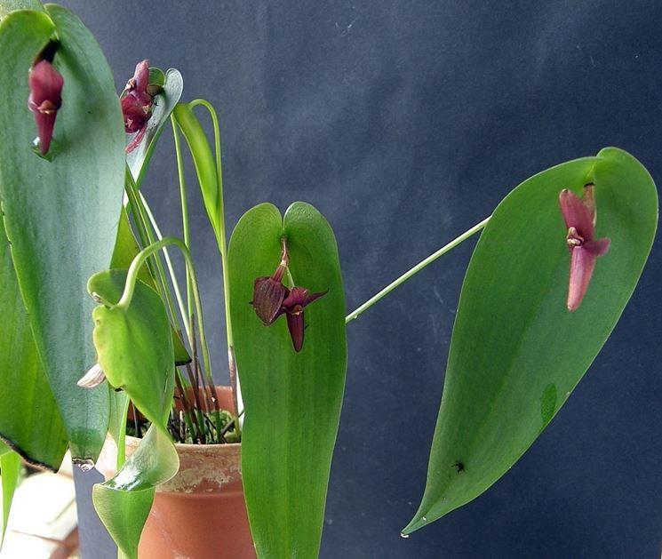 orchidea plurothallis