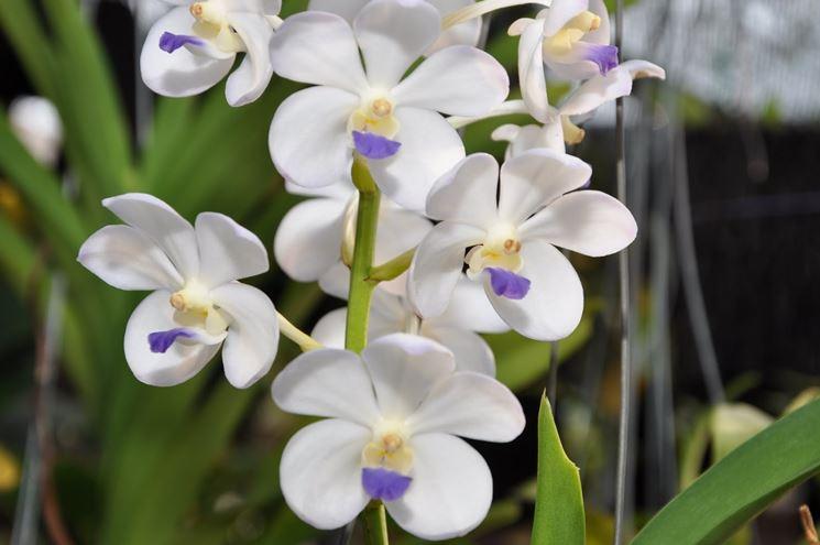 orchidea rhynchostylis