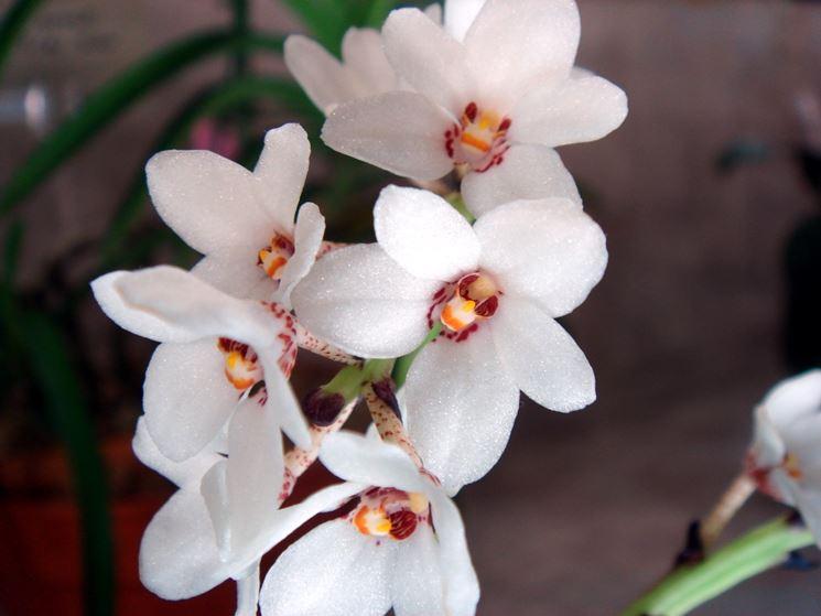 orchidea sarcochilus