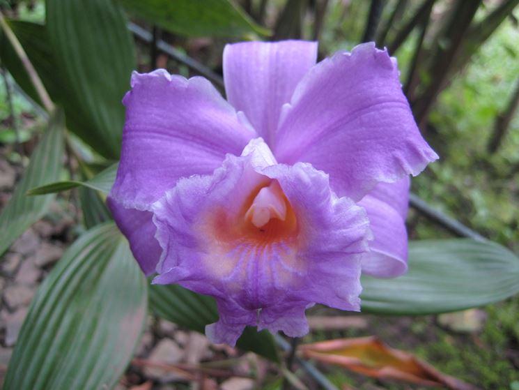 pianta Sobralia