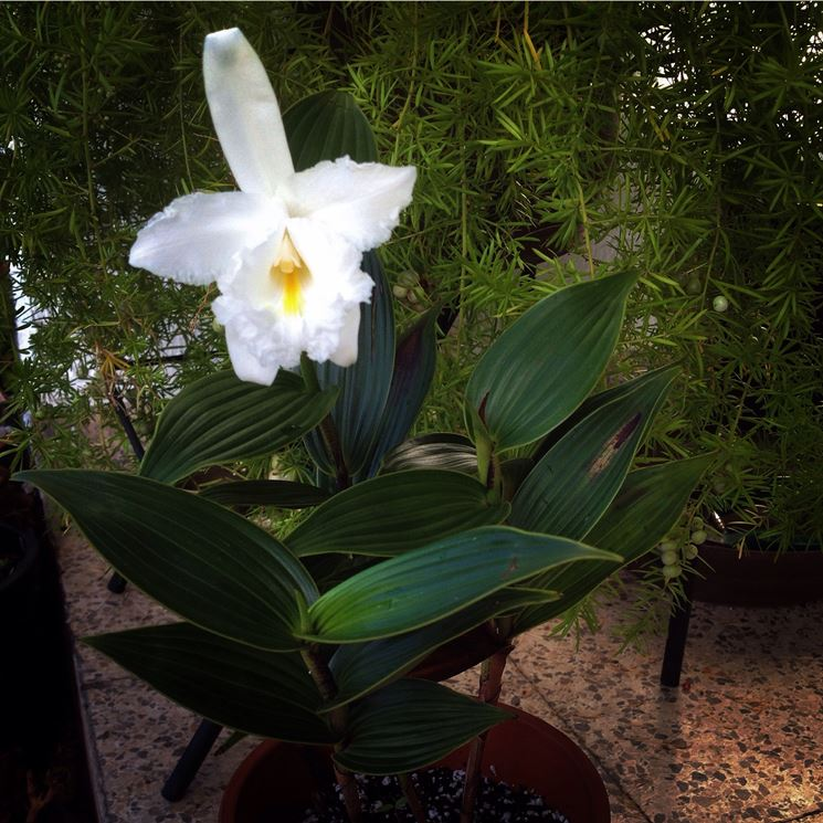 orchidea sobralia