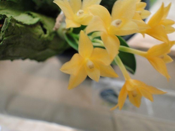 orchidea sophronitis