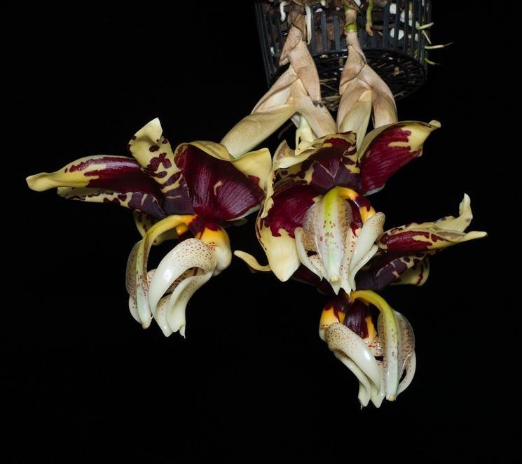 orchidea stanhopea